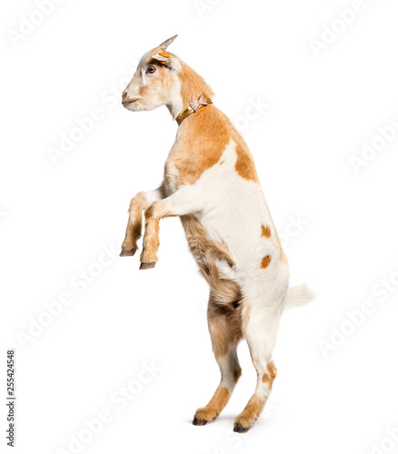 Tela Goat on hind legs in front of white background