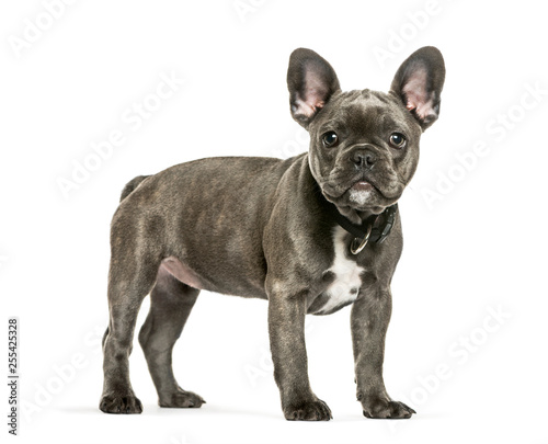 French Bulldog, 3 months old, in front of white background