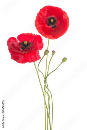 Poster Poppy poppy flower isolated