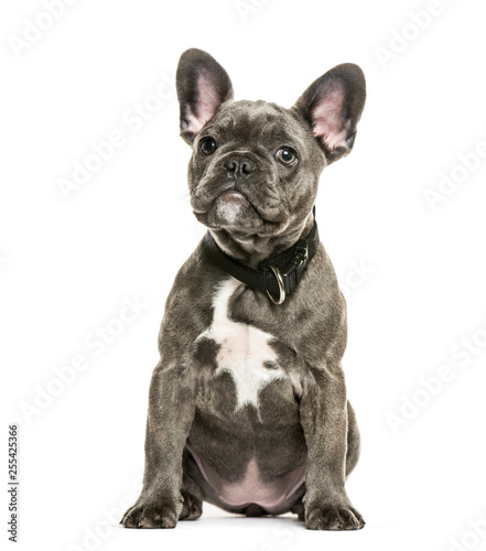 Poster Bouledogue français French Bulldog, 3 months old, sitting in front of white backgrou