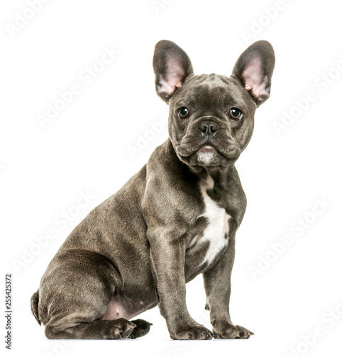 Keuken foto achterwand Franse bulldog French Bulldog, 3 months old, sitting in front of white backgrou