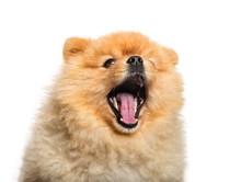 Spitz Dog Yawning In Front Of ...