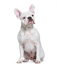 French Bulldog, 8 Months Old, Sitting In Front Of White Backgrou