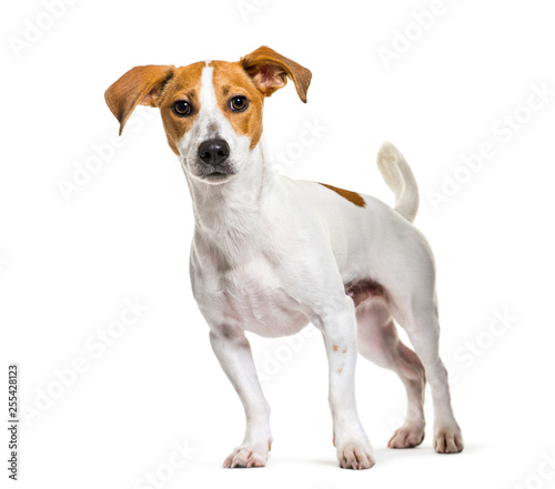 Fotografie, Obraz  Jack Russell Terrier in front of white background