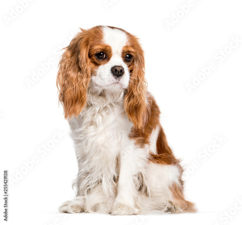 Tableau sur Toile Cavalier King Charles Spaniel sitting in front of white backgrou