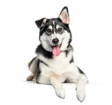 Mixed-breed Between Siberian Husky And Labrador Retriever Lying