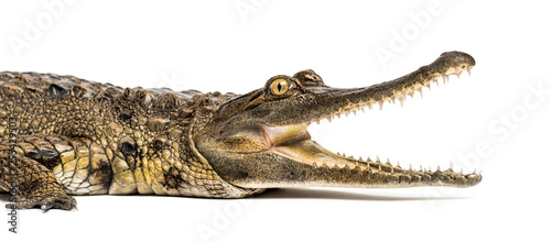 Deurstickers Krokodil West African slender-snouted crocodile, 3 years old, isolated