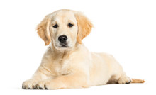 Golden Retriever, 3 Months Old, Lying In Front Of White Backgrou