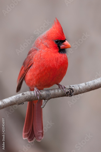 Northern Cardinal with Tufted Crest Canvas Print
