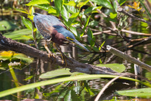 A Wild Green Heron Perched Under A Tree In Everglades National Park (Florida).