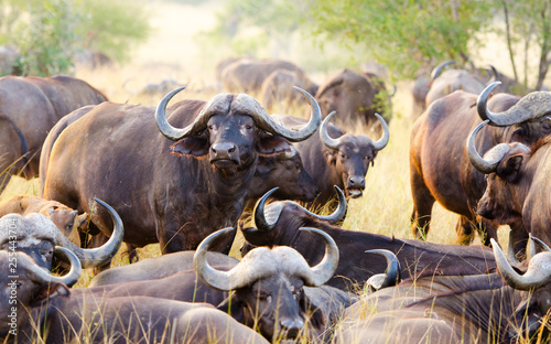 A Herd of Cape Buffalo grazing together. Kruger National Park, South Africa.