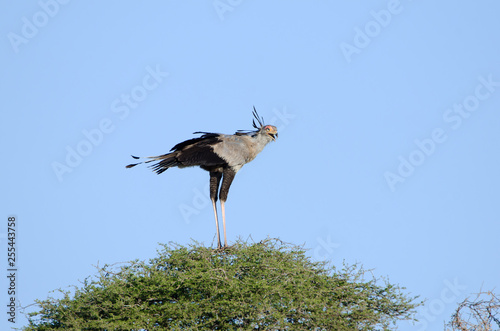 Obraz na plátně  Secretary Bird standing on an African Acacia Tree, Kruger National Park, South A
