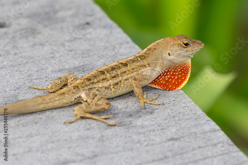 Photographie  A wild lizard showing off its dewlap in Everglades National Park (Florida)