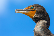 A Wild Double Crested Cormorant Along The Anhinga Trail In Everglades National Park (Florida).