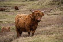 Animal Or Wildlife Concept. View Of The Beautiful Brown Hairy Highland Cattle Cow Standing In The Grass Under The Mountains In Faroe Islands, Europe