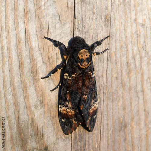 Photo Dead head. The large  butterfly belonging to family of brazhnik.