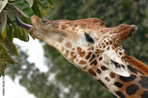 Fotografie, Obraz  Jirafa (Giraffa reticulata)