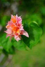 Double Bloom Flowers Of A Trop...