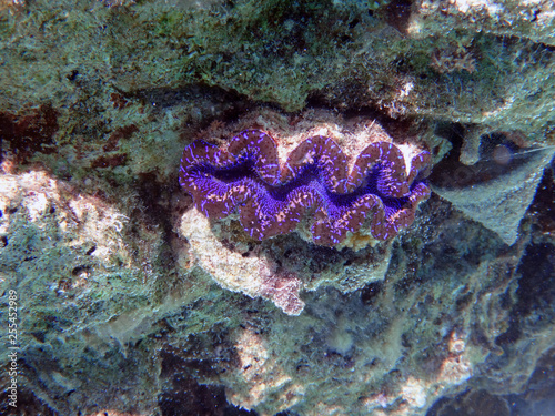 Fotografie, Obraz  Underwater view of a Giant Clam (Tridacna Gigas) with blue lips in the Bora Bora