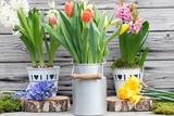 Frühlingserwachen mit bunten Tulpen und Hyazinthen rustikal vor Holz