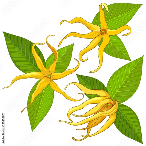 In de dag Draw Ylang Ylang Exotic Scented Flowers and Leaves Vector Illustration isolated on White