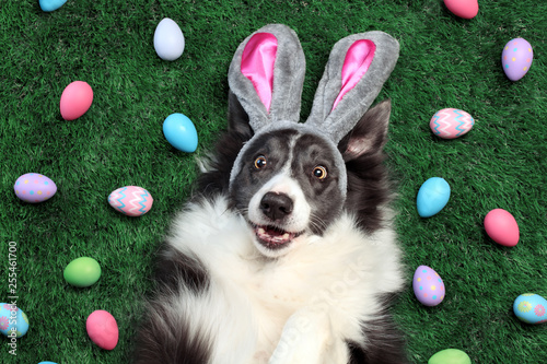 Fotografering Happy dog with bunny ears surrounded by Easter eggs