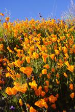 California Super Bloom Of Poppies Lake Elsinore