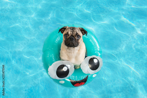 Poster Bouledogue français Cute pug puppy floating in a pool with an inflatable ring