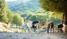 Herd Of Goats Grazing By The R...