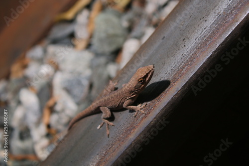 Photographie  Lizard on the track