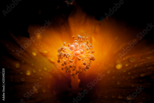 Hibiscus Flower with Waterdrops on Black Background, vintage style