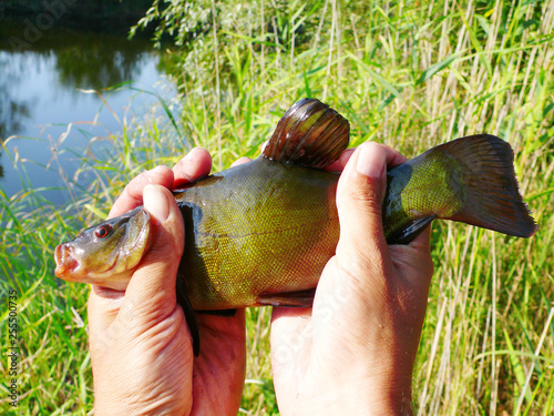 Valokuvatapetti Fish tench in angler's hand