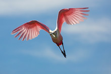 Beautiful Roseate Spoonbill Flying Over A Swamp In Florida.