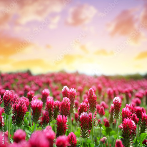 Printed kitchen splashbacks Meadow Field of flowering crimson clovers (Trifolium incarnatum) at sunset.Spring season.
