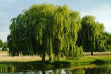Weeping Willow Tree, England, UK