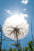 False Dandelion Plant