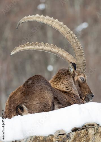 Fotografie, Tablou Ritratto del re delle Alpi, stambecco alpino (Capra ibex)