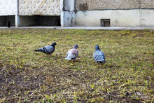 Three Pigeons Sitting On The G...