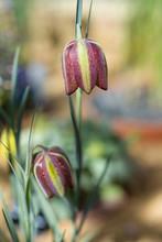 Fritillary, Fritillaria Aff. C...