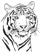 Tiger Drawn With A Black Outli...