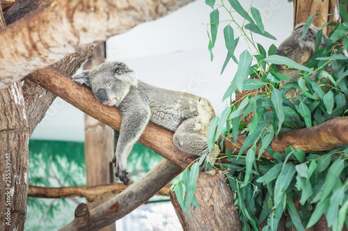 Recess Fitting Koala Australian Koala (Phascolarctos cinereus) sleeping in a eucaplytus gum tree