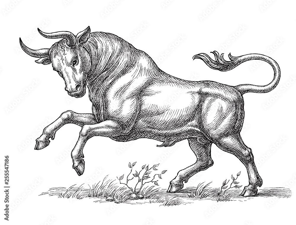 Fototapeta Hand drawn illustration, wild bull, engraving style.
