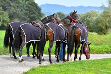Group Of Polo Horses Waiting F...