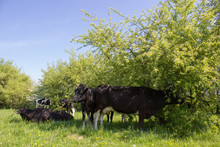 Cows Under The Tree,A Herd Of ...