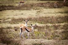 Two Thomson's Gazelles (Eudorc...