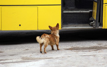 Cute Mongrel Dog And The Bus