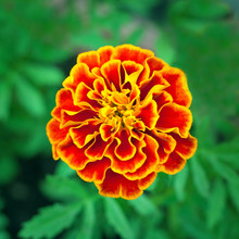 Orange - Yellow Flower Of Tagetes Plant (French Marigold) On A Background Of Green Garden In Blur (shallow Depth Of Field, Square Aspect Ratio)