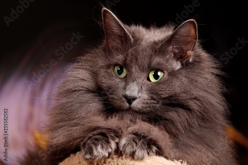 A Portrait Of A Beautiful Blue Norwegian Forest Cat Buy This Stock Photo And Explore Similar Images At Adobe Stock Adobe Stock