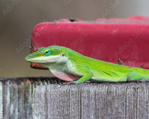 A green anole getting puffed up! Canvas Print