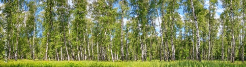 Cadres-photo bureau Bosquet de bouleaux Birch grove on a sunny spring summer day, landscape banner, huge panorama